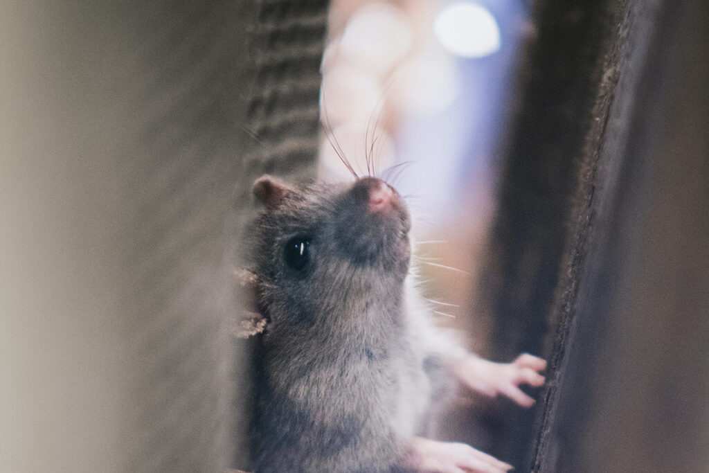 mice in air ducts